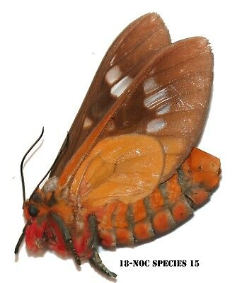 Insect Butterfly Moth Nymphalidae Lycaenidae species -The Congo! NOC SPECIES 15