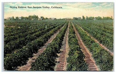 Early 1900s Drying Raisins, San Joaquin Valley, CA Postcard