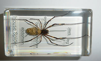 Golden Silk Spider Argiope ocula 5 parts labeled Clear Education Insect Specimen