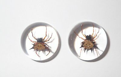 Insect Cabochon Spiny Spider Specimen Round 19 mm Clear 2 Pieces Lot