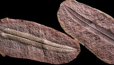 A FLAWLESS Museum Quality Pecopteris Fern Fossil, Mazon Creek Plant Fossil