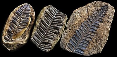 A Group Of 3 EXTRA NICE Pecopteris Fern Fossils, Mazon Creek Plant Fossil Flower