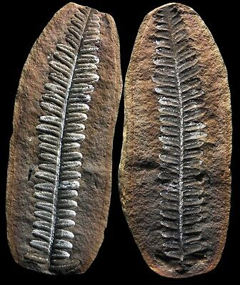 STUNNING Museum Quality Pecopteris Fern Fossil, Mazon Creek Plant Fossil Nodule