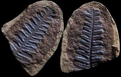 A Lovely Pecopteris Fern Fossil, Mazon Creek Plant Fossil Nodule