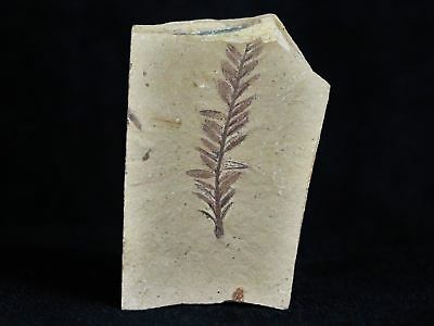 Highly Detailed Fossil Plant Leafs Metasequoia Dawn Redwood Back Oligocene Age