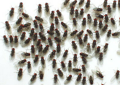Fruit Fly Large (Flightless) x 1 Culture. Ideal for Amphibians & Small Reptiles