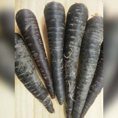 V504 Carrot Deep Purple 50 treated seeds Almost Black Inside & Outside Vegetable