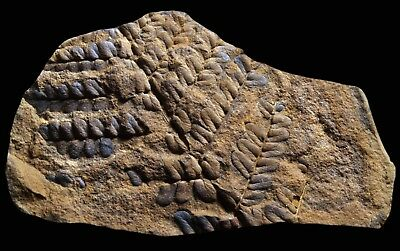 A NICE Laveineopteris Fern Fossil, Mazon Creek Plant Fossil