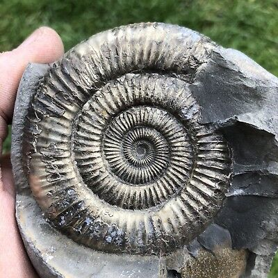 Genuine whitby fossil ammonite yorkshire jurassic dinosaur age large reptile