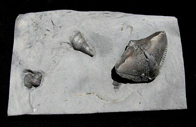 Extinctions- Amazing Plate With Huge Spirifer, Horn Corals, Trilobite Fossils Ny