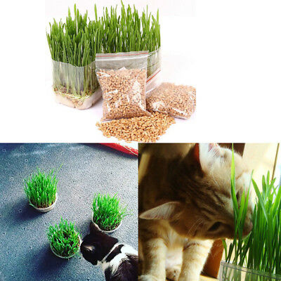 DIY Planting Organic Sweet Oat Cat Grass Seeds Conditioning Aids Digestion Care