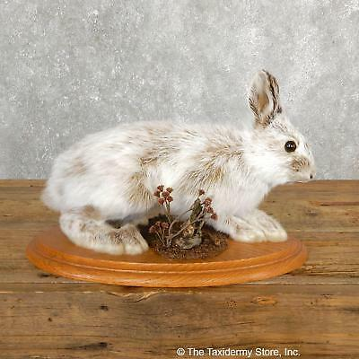 #19703 E | Standing Snowshoe Hare Life Size Taxidermy Mount For Sale