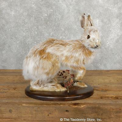 #19702 E+ | Standing Snowshoe Hare Life Size Taxidermy Mount For Sale