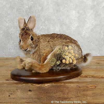 #19695 E+| Sitting Cottontail Rabbit Life Size Taxidermy Mount For Sale