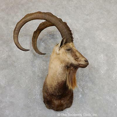 #19631 WC   Hybrid Ibex Taxidermy Shoulder Mount For Sale