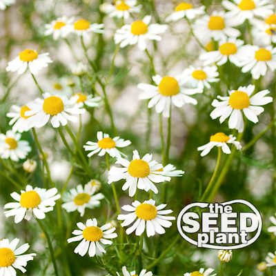 German Chamomile Seeds - 500 SEEDS SAME DAY SHIPPING