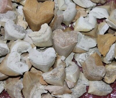 10 Squalicorax Haizähne , Alter ca. 60 Mio.Jahre | Large Shark Tooth Squalicora