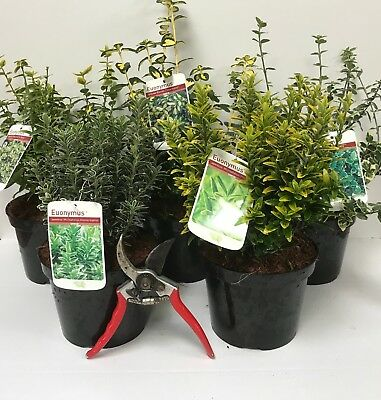 5X Large Mixed Euonymus Evergreen Shrubs - Garden Plants - 2L (5 Colours)