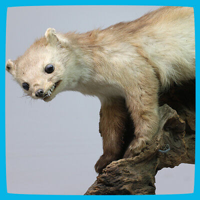 old rare vintage antique Taxidermy Least Weasel Predator on Wooden Stand Branch