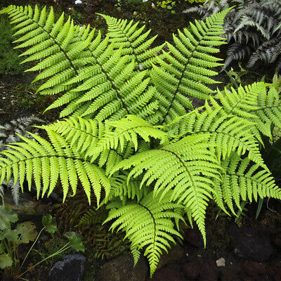 "Dryopteris wallichiana-Wallich's Wood Fern Plant in 3.5 "" pot"