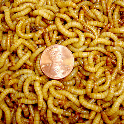 Live Mealworms-Full Grown, Apx 1 inch, 25 to 1000 Counts (Free Shipping)
