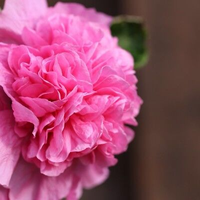 25+ Hollyhock Pink Chaters Double  / Alcea Rosea / 6 Ft Perennial Flower Seeds
