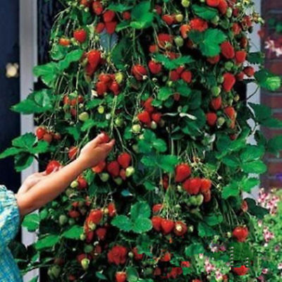 Red 100pcs Strawberry Climbing Strawberry Fruit Plant Seeds Home Garden New GUT