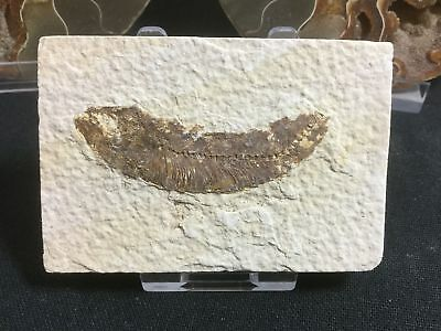 Fossil Fish (Green River Fm) #07 - Wyoming, Eocene, 50 Million Year Old Fossil
