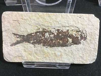 Fossil Fish (Green River Fm) #13 - Wyoming, Eocene, 50 Million Year Old Fossil
