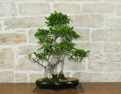 Bonsai Ficus Retusa (63)