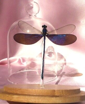 o44 Entomology insect Real Iridescent Wing Dragonfly Spread Glass Dome specimen