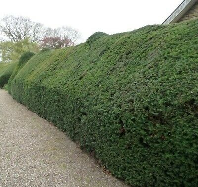Pallet 15X 5-6Ft Large Taxus Baccata English Yew Instant Hedging Trees - Rb