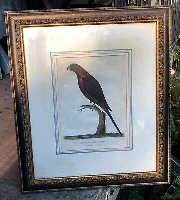 Framed Antique Print of Aust Blue Bellied Parrot from Phillip's Journal c1789
