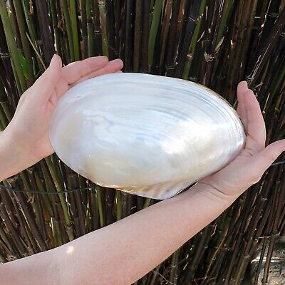 Extra Large polished Pearl River oyster for bathrooms or culinary use 22-25cm