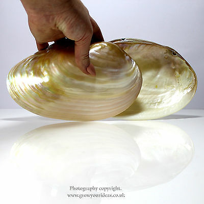 Medium polished Pearl River oyster for bathrooms or culinary use 14-16cm