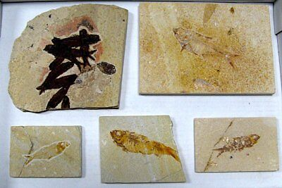 Extinctions- Flat Of 5 Fossil Fish Plates Wholesale Lot- 2 Diff Types Free Ship