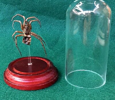 V6  Taxidermy Entomology Preserved Wolf Spider Specimen Glass dome Display