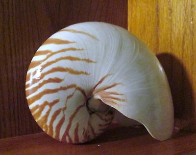 Large  5-6 Inches Tiger Nautilus Shell