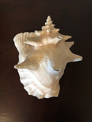 Big Real Sea Conch Shell 8inches