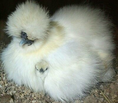 6 Silkie/Sizzle chicken fertile Hatching Eggs bantam Black Gray Partridge White