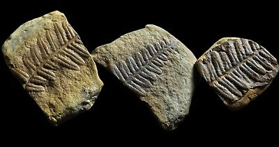 A Group Of 3 BEAUTIFUL Pecopteris Fern Fossils, Mazon Creek Plant Fossil Flower