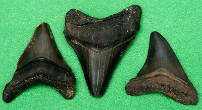 3 Serrated Megalodon era fossil sharks tooth teeth relative of great white