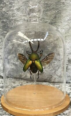 R4 Taxidermy Entomology Lamprima lg Beetle Glass Dome Display Specimen insect