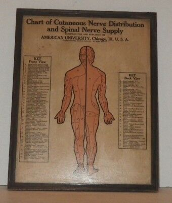1916 American University Chicago - Chart of Nerve Distribution and Spinal Nerve