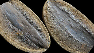 A Nice Calamites Wood Bark Fossil, Mazon Creek Plant Fossil Concretion