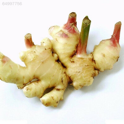 8984 Healthy Turmeric Seeds Ginger Seed Four Seasons Garden Potted
