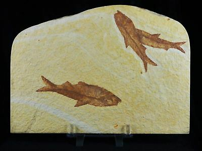 3 Three 3.7 In Knightia Eocaena Fossil Fish Green River Wy Eocene Age Stand, Coa