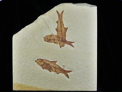 3 Three 3.6 In Knightia Eocaena Fossil Fish Green River Wy Eocene Age Stand, Coa