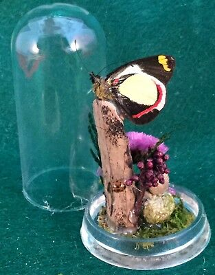 y95 Entomology Taxidermy Natural  Butterfly display Glass Dome specimen