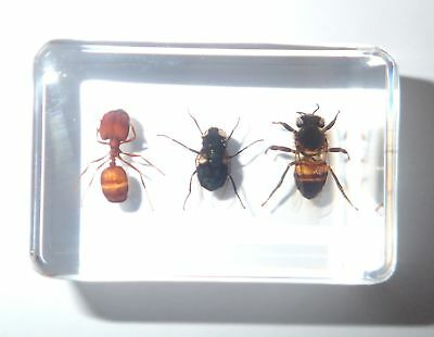 Honey Bee & Blue Bottle Fly & Ant Collection Set Clear Education Insect Specimen